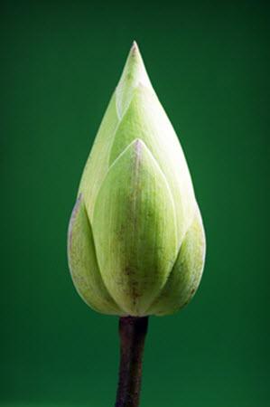 lotus-1550954_960_720